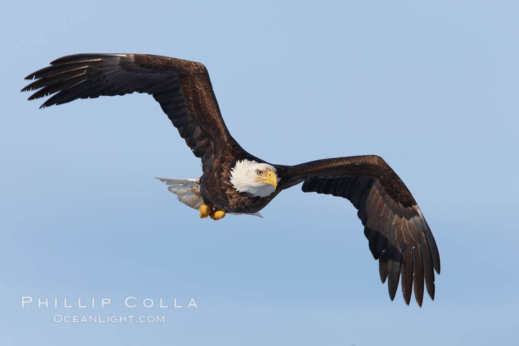 Bald eagle in flight, wing spread, soaring. Kachemak Bay, Homer, Alaska, USA, Haliaeetus leucocephalus, Haliaeetus leucocephalus washingtoniensis, natural history stock photograph, photo id 22599