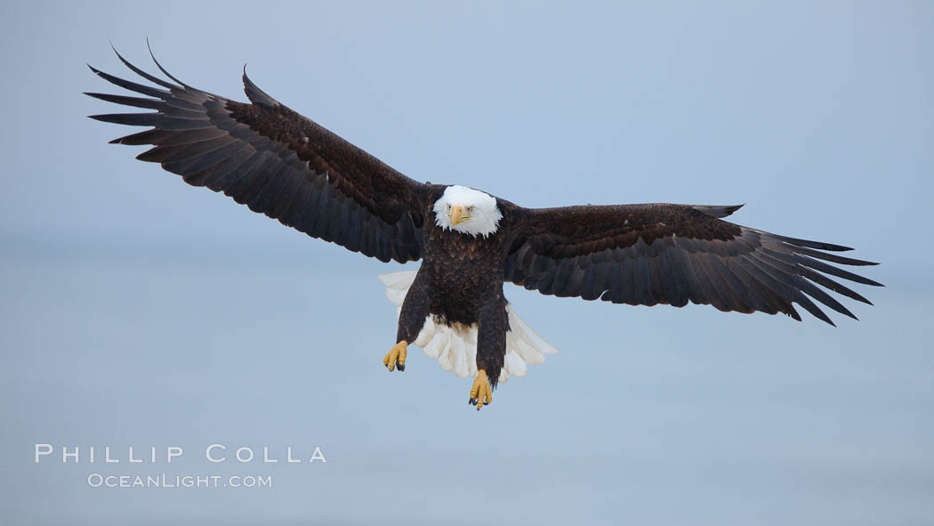 Bald eagle in flight, wing spread, soaring. Kachemak Bay, Homer, Alaska, USA, Haliaeetus leucocephalus, Haliaeetus leucocephalus washingtoniensis, natural history stock photograph, photo id 22721