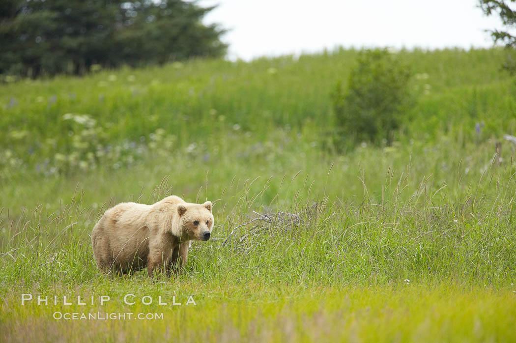 Coastal brown bear amid sedge grass, near Silver Salmon Creek. Lake Clark National Park, Alaska, USA, Ursus arctos, natural history stock photograph, photo id 19298
