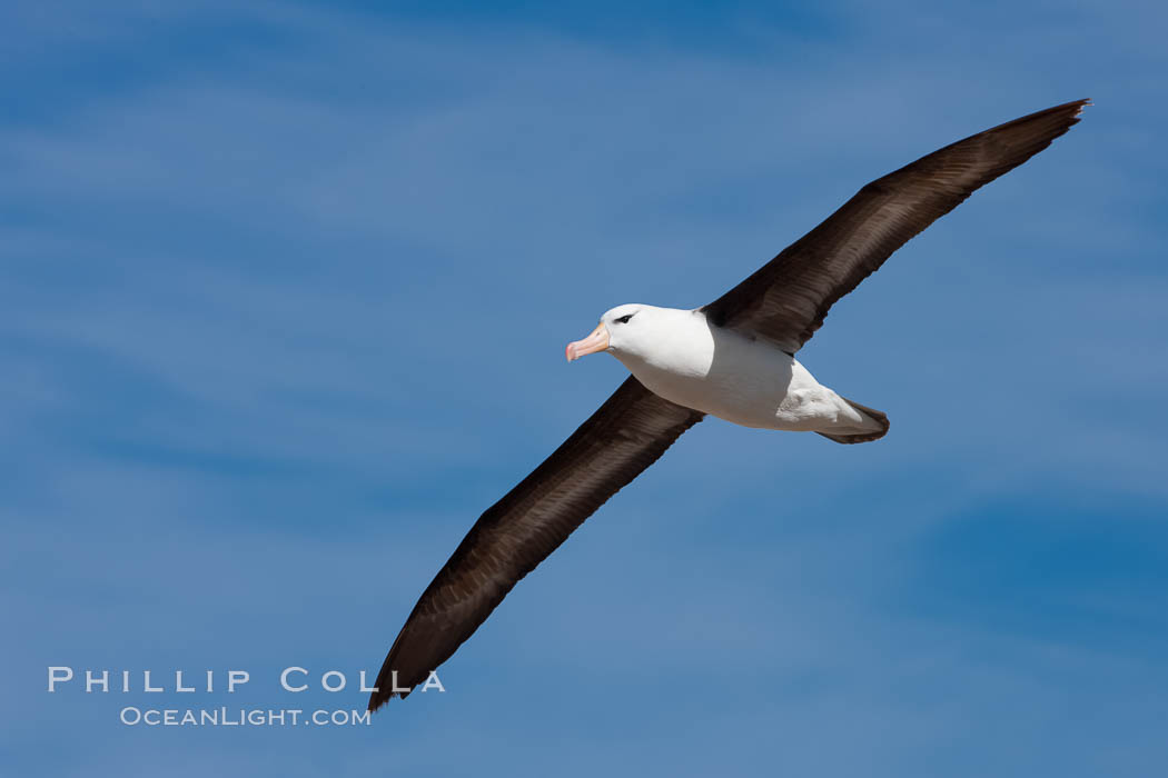 Black-browed albatross in flight, against a blue sky.  Black-browed albatrosses have a wingspan reaching up to 8', weigh up to 10 lbs and can live 70 years.  They roam the open ocean for food and return to remote islands for mating and rearing their chicks. Steeple Jason Island, Falkland Islands, United Kingdom, Thalassarche melanophrys, natural history stock photograph, photo id 24118