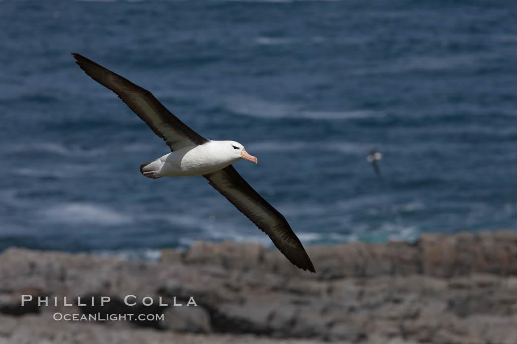 Black-browed albatross soaring in the air, near the breeding colony at Steeple Jason Island. Steeple Jason Island, Falkland Islands, United Kingdom, Thalassarche melanophrys, natural history stock photograph, photo id 24232
