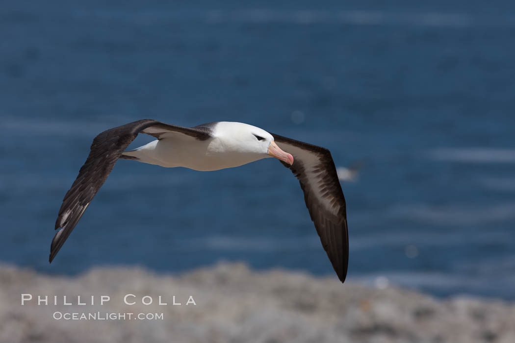 Black-browed albatross soaring in the air, near the breeding colony at Steeple Jason Island. Falkland Islands, United Kingdom, Thalassarche melanophrys, natural history stock photograph, photo id 24105