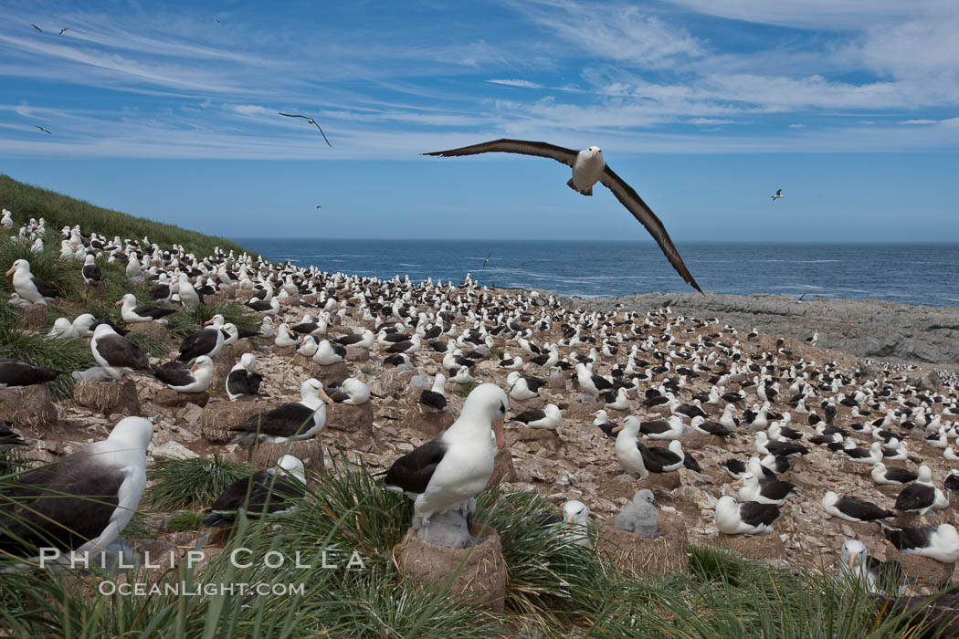 Black-browed albatross in flight, over the enormous colony at Steeple Jason Island in the Falklands. Falkland Islands, United Kingdom, Thalassarche melanophrys, natural history stock photograph, photo id 24221