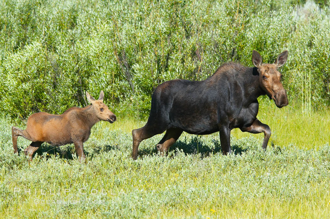 Image 13042, Mother and calf moose wade through meadow grass near Christian Creek. Christian Creek, Grand Teton National Park, Wyoming, USA, Alces alces, Phillip Colla, all rights reserved worldwide. Keywords: alces, alces alces, animal, animalia, artiodactyla, capreolinae, cervidae, chordata, christian creek, creature, grand teton, grand teton national park, grand tetons, mammal, moose, national parks, nature, tetons, usa, vertebrata, vertebrate, wildlife, wyoming.