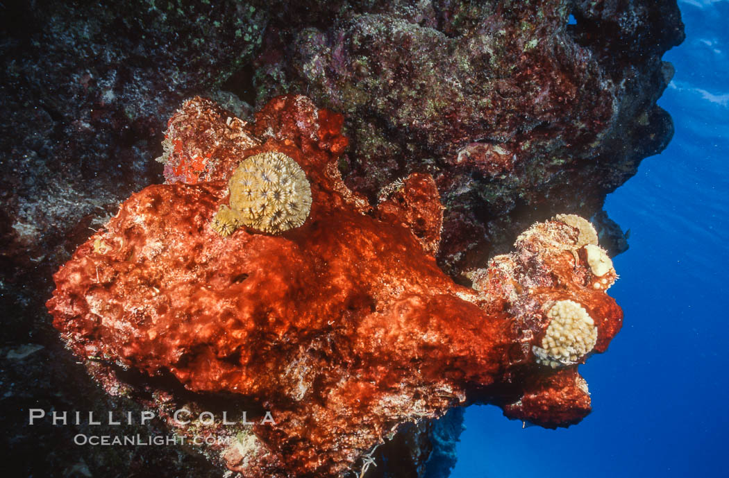 Algae growth on coral reef, in vicinity of Jin Shiang Fa shipwreck, Rose Atoll. Rose Atoll National Wildlife Sanctuary, American Samoa, USA, natural history stock photograph, photo id 00743