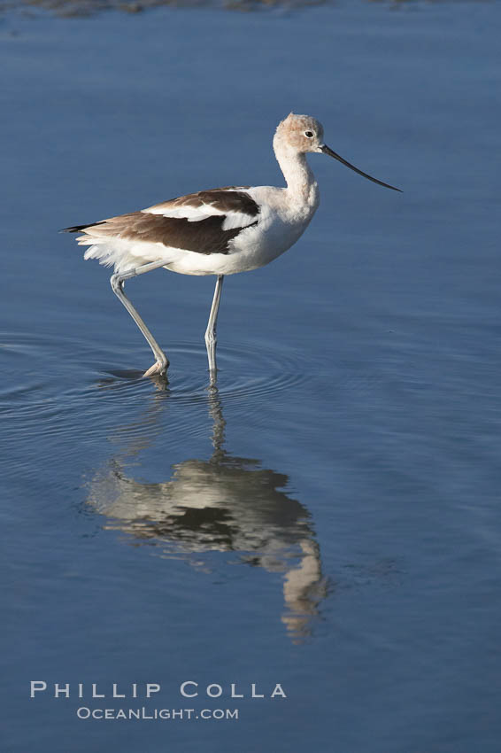 American avocet, forages on mud flats. Upper Newport Bay Ecological Reserve, Newport Beach, California, USA, Recurvirostra americana, natural history stock photograph, photo id 15678