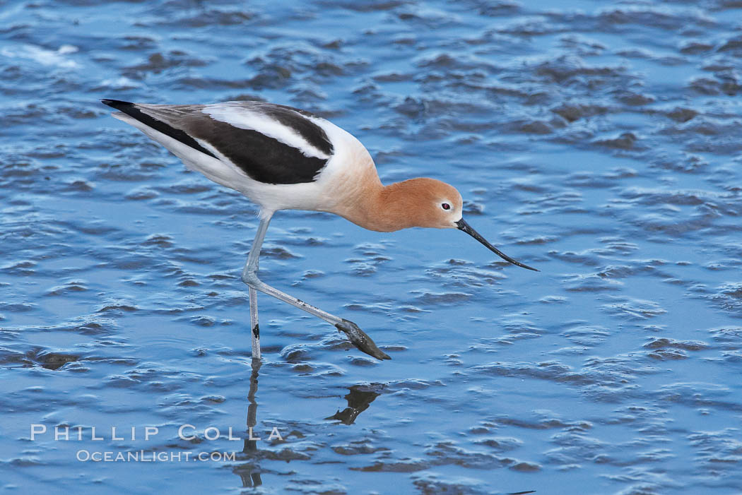 Image 15675, American avocet, female breeding plumage, forages on mud flats. Upper Newport Bay Ecological Reserve, Newport Beach, California, USA, Recurvirostra americana