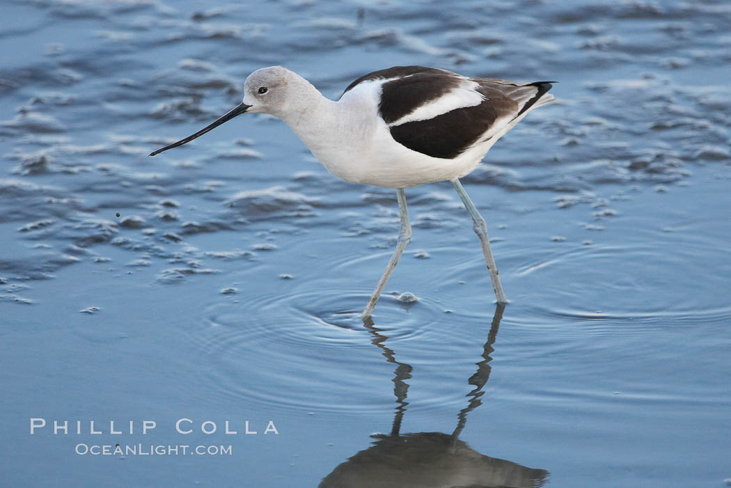 Image 15676, American avocet, male winter plumage, forages on mud flats. Upper Newport Bay Ecological Reserve, Newport Beach, California, USA, Recurvirostra americana