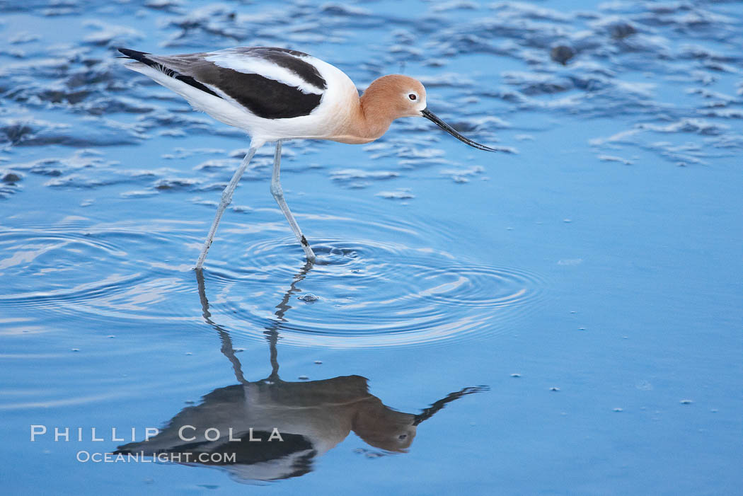 American avocet, female breeding plumage, forages on mud flats. Upper Newport Bay Ecological Reserve, Newport Beach, California, USA, Recurvirostra americana, natural history stock photograph, photo id 15679