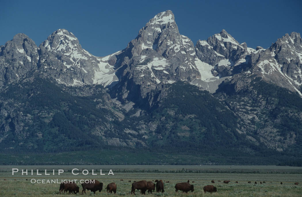 A small herd of American bison -- quintessential symbol of the American West -- graze below the Teton Range. Grand Teton National Park, Wyoming, USA, Bison bison, natural history stock photograph, photo id 07346