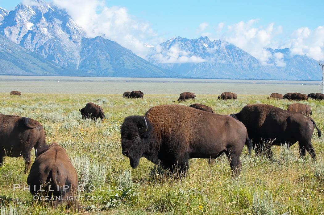 Bison herd. Grand Teton National Park, Wyoming, USA, Bison bison, natural history stock photograph, photo id 13006