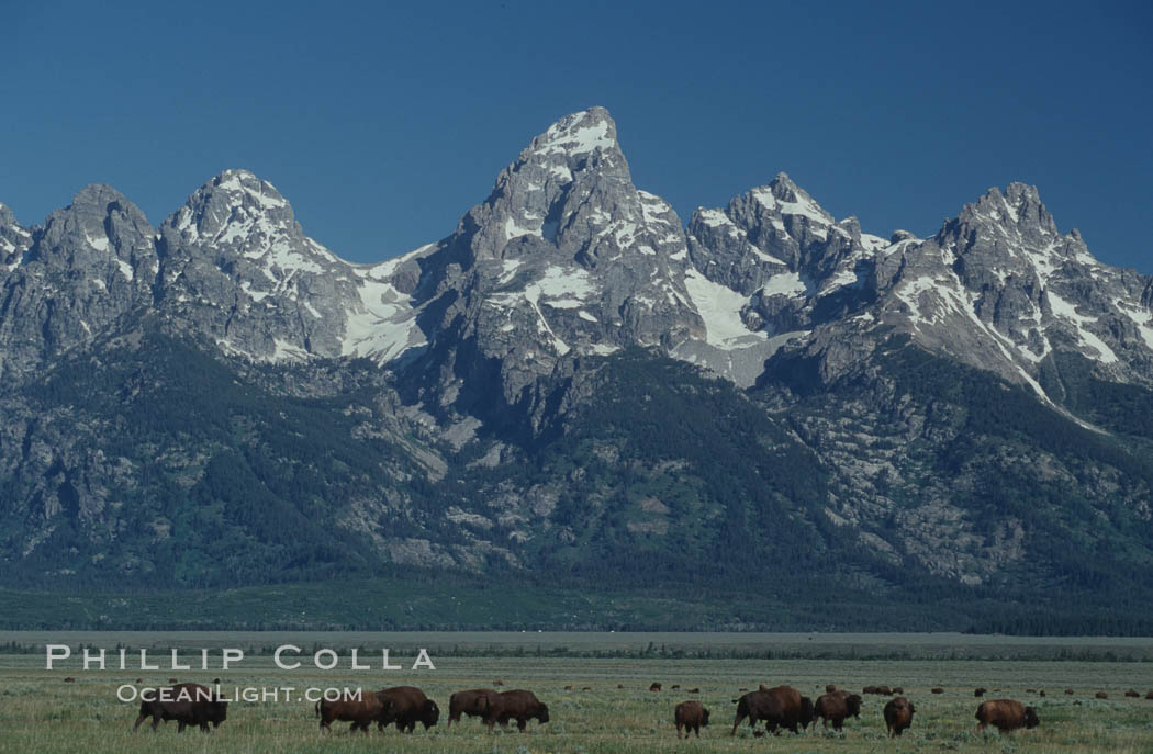 A small herd of American bison -- quintessential symbol of the American West -- graze below the Teton Range. Grand Teton National Park, Wyoming, USA, Bison bison, natural history stock photograph, photo id 07344
