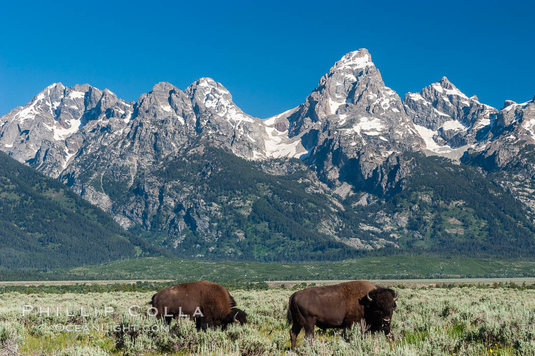 A small herd of American bison -- quintessential symbol of the American West -- graze below the Teton Range. Grand Teton National Park, Wyoming, USA, Bison bison, natural history stock photograph, photo id 07347