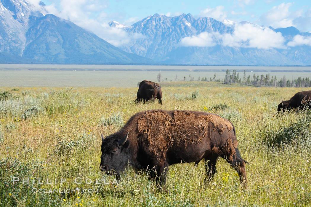 Bison. Grand Teton National Park, Wyoming, USA, Bison bison, natural history stock photograph, photo id 13003