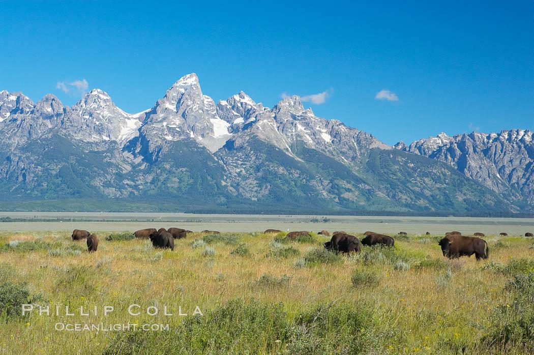 Bison herd grazes below the Teton Range. Grand Teton National Park, Wyoming, USA, Bison bison, natural history stock photograph, photo id 13007