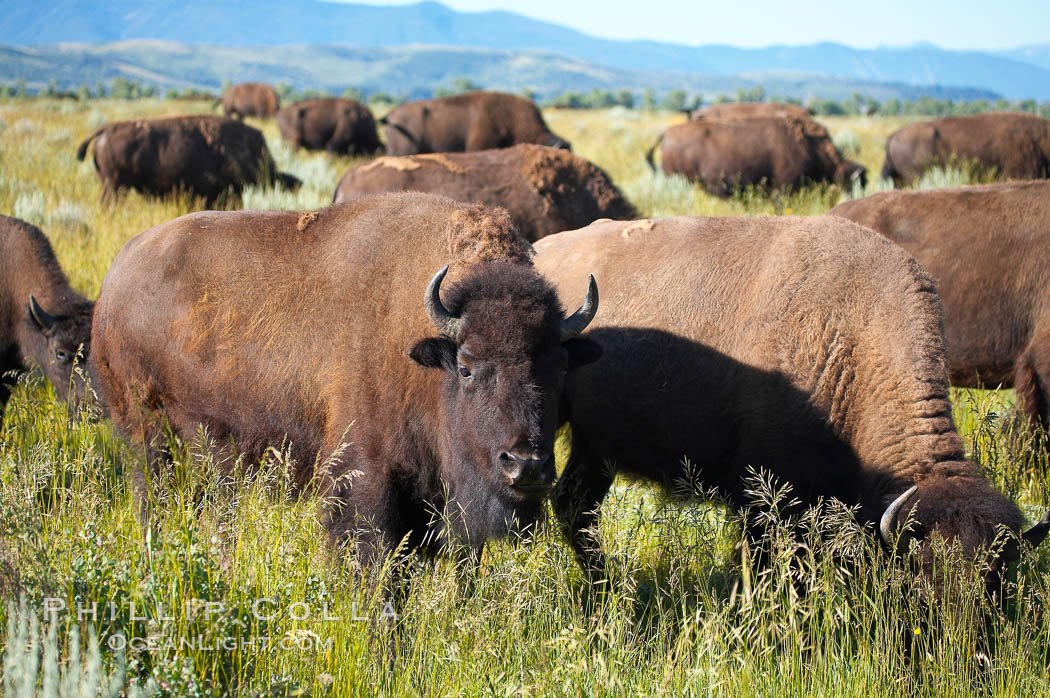 Bison herd. Grand Teton National Park, Wyoming, USA, Bison bison, natural history stock photograph, photo id 13001