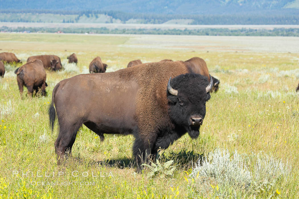 Bison herd. Grand Teton National Park, Wyoming, USA, Bison bison, natural history stock photograph, photo id 13005