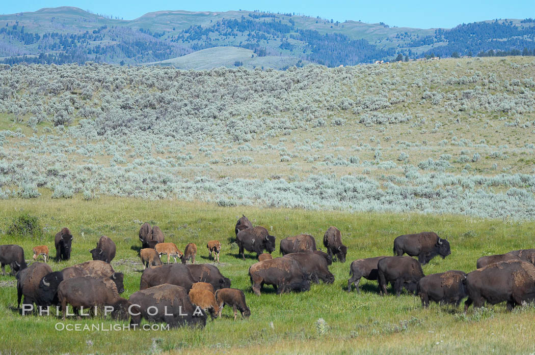 The Lamar herd of bison grazes, a mix of mature adults and young calves. Lamar Valley, Yellowstone National Park, Wyoming, USA, Bison bison, natural history stock photograph, photo id 13150