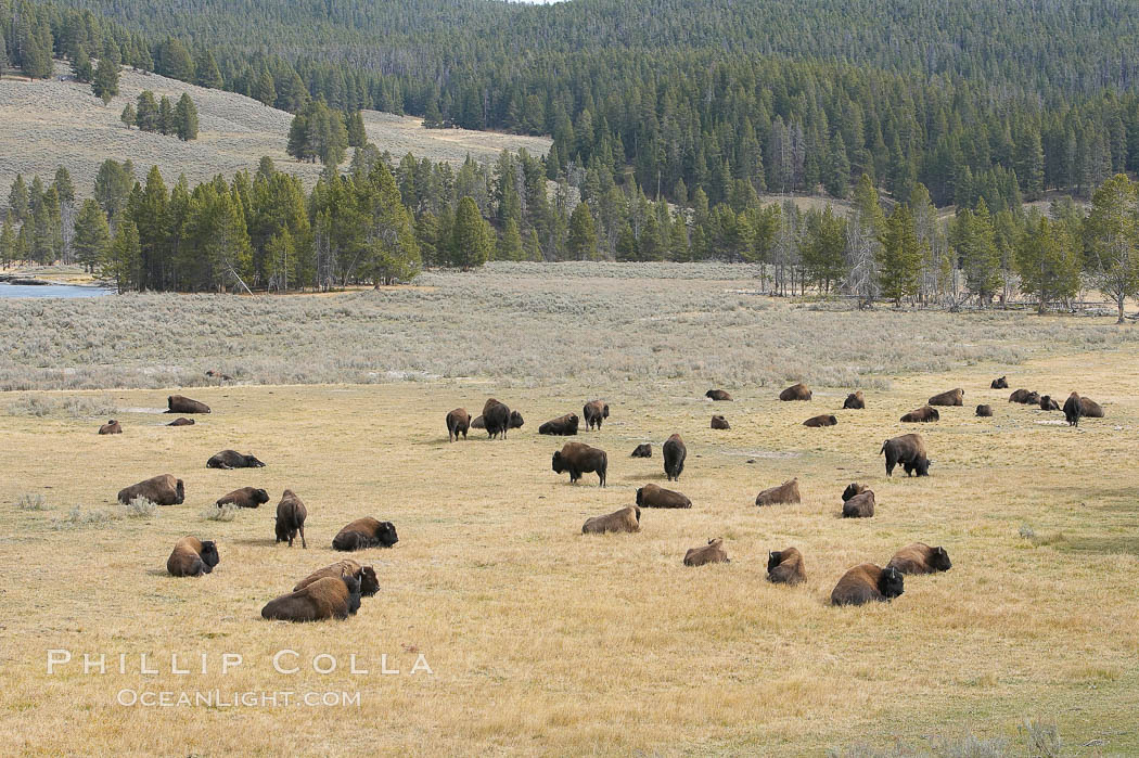 Bison herds, Hayden Valley. Yellowstone National Park, Wyoming, USA, Bison bison, natural history stock photograph, photo id 19606