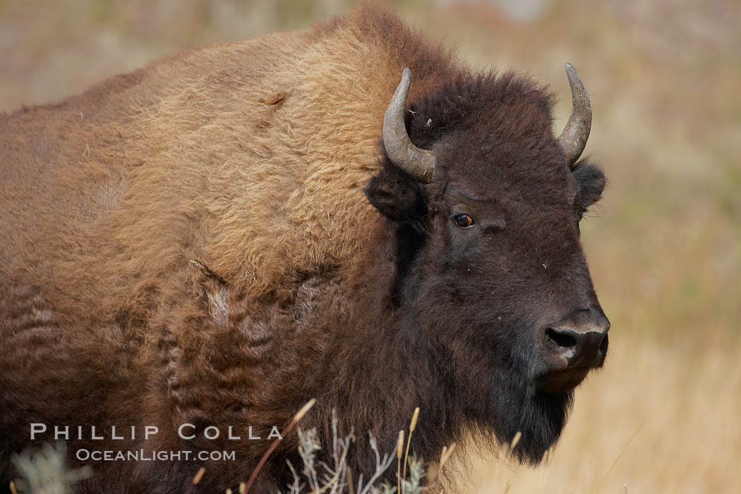 Bison. Yellowstone National Park, Wyoming, USA, Bison bison, natural history stock photograph, photo id 19600