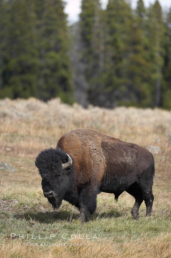 Bison. Yellowstone National Park, Wyoming, USA, Bison bison, natural history stock photograph, photo id 19599