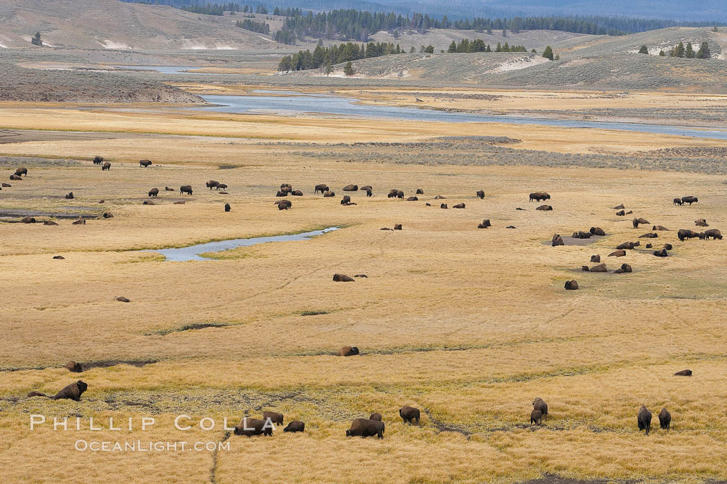 Bison herds, Hayden Valley. Yellowstone National Park, Wyoming, USA, Bison bison, natural history stock photograph, photo id 19607