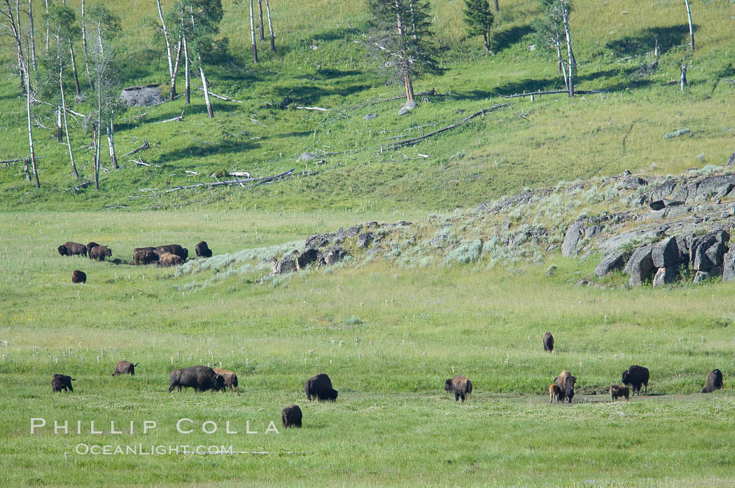 The Lamar herd of bison grazes in the Lamar Valley. The Lamar Valleys rolling hills are home to many large mammals and are often called Americas Serengeti. Lamar Valley, Yellowstone National Park, Wyoming, USA, Bison bison, natural history stock photograph, photo id 13653
