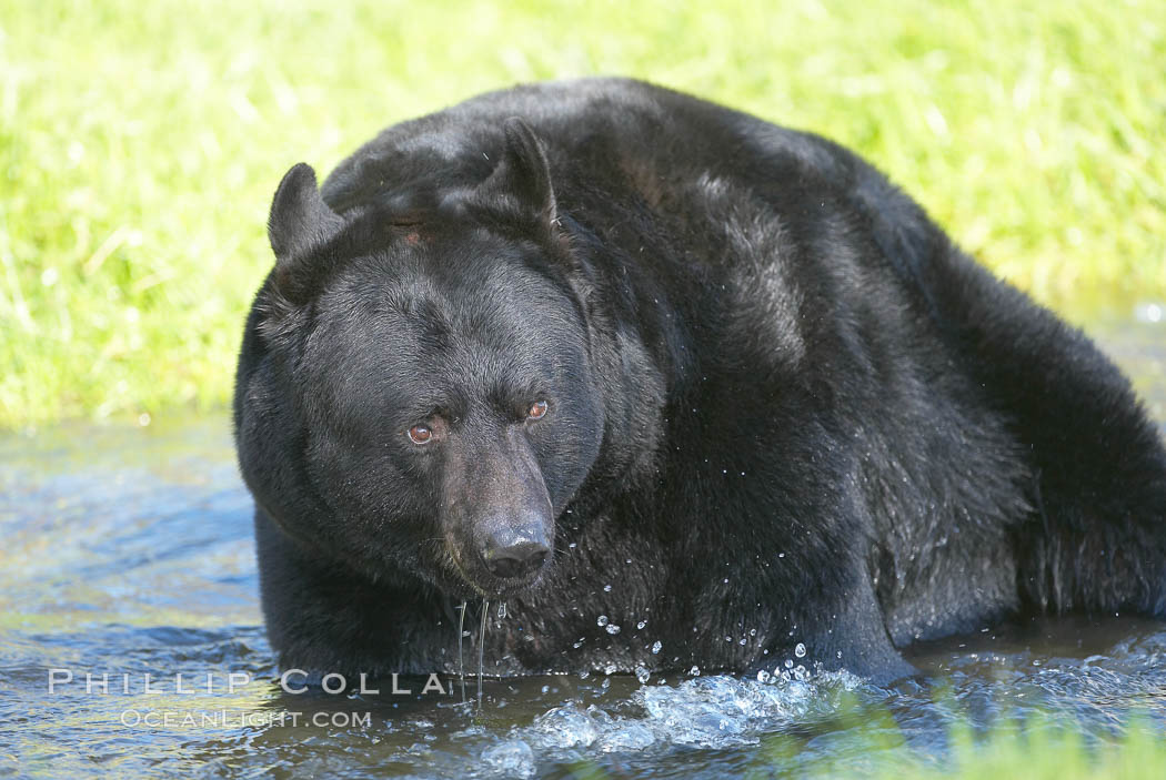 American black bear, adult male, Sierra Nevada foothills, Mariposa, California., Ursus americanus, natural history stock photograph, photo id 15981