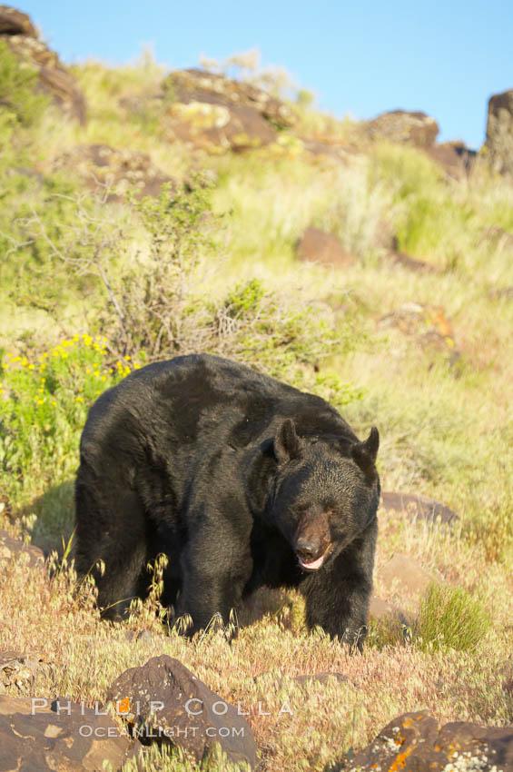 American black bear, adult male., Ursus americanus, natural history stock photograph, photo id 12254