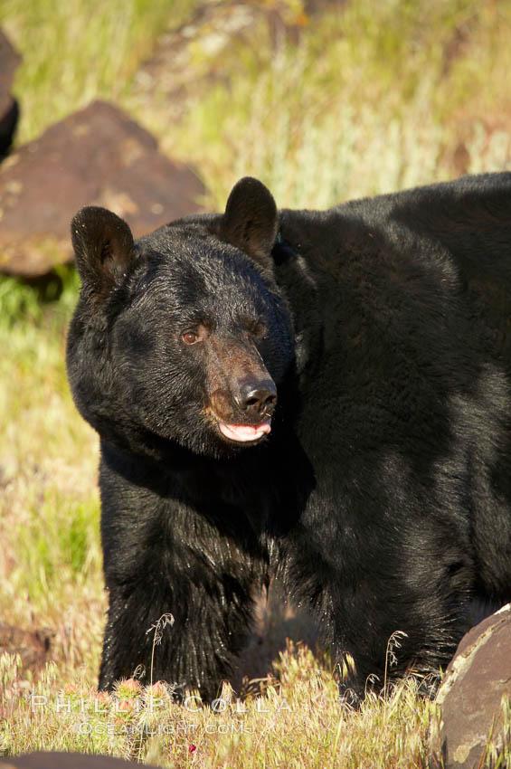 American black bear, adult male., Ursus americanus, natural history stock photograph, photo id 12251