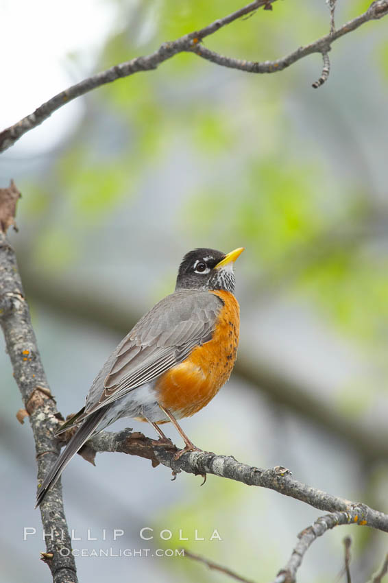 American robin.  Yosemite Valley. Yosemite National Park, California, USA, Turdus migratorius, natural history stock photograph, photo id 12667