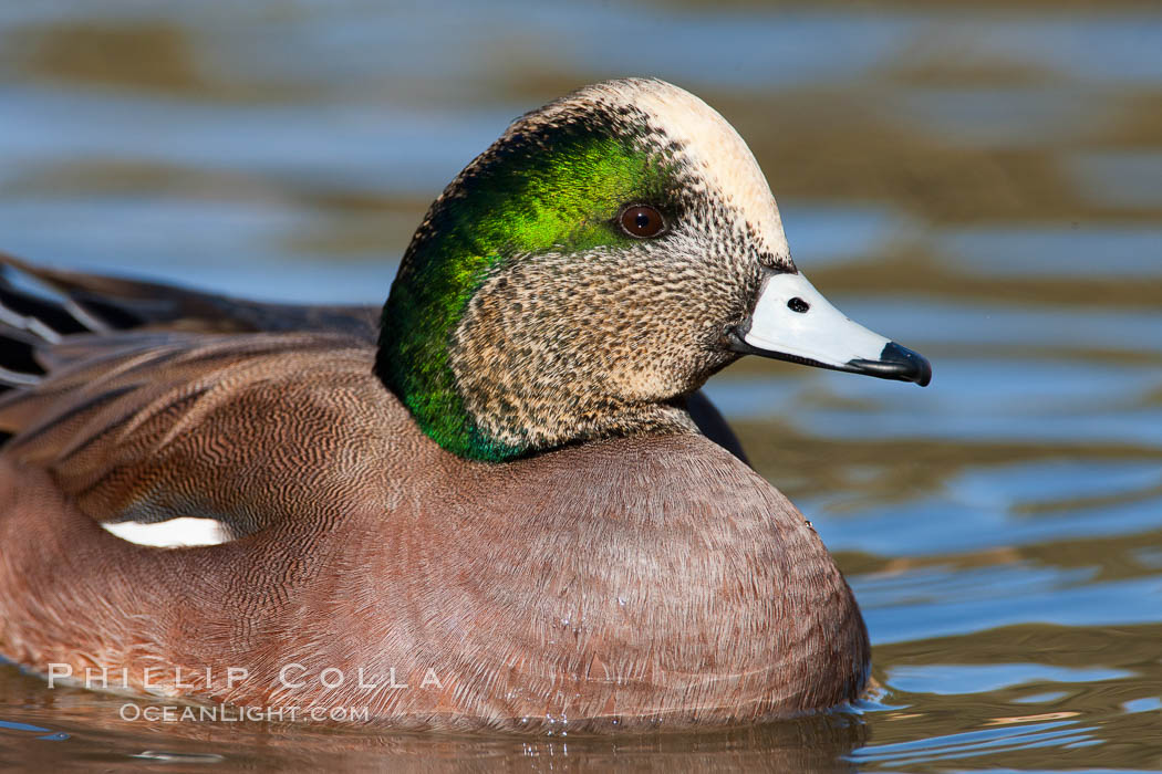 American wigeon, male. Socorro, New Mexico, USA, Anas americana, natural history stock photograph, photo id 26214