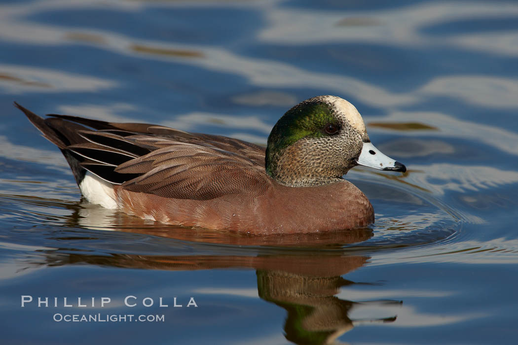 American wigeon, adult breeding plumage. Santee Lakes, California, USA, Anas americana, natural history stock photograph, photo id 23400