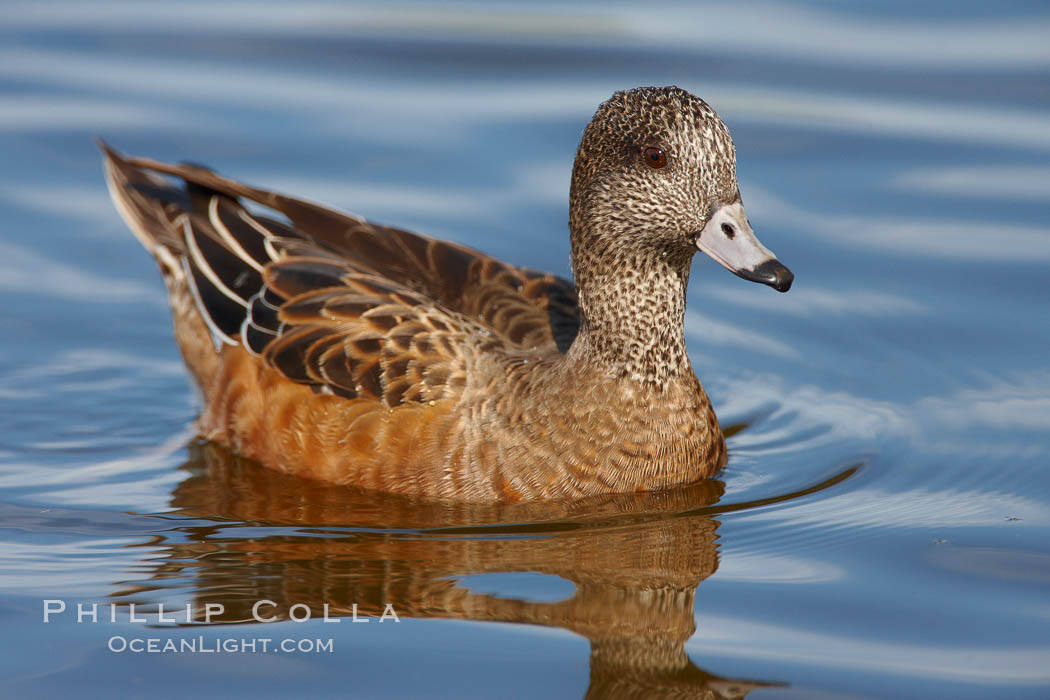 American wigeon, juvenile / nonbreeding plumage. Santee Lakes, Santee, California, USA, Anas americana, natural history stock photograph, photo id 23407