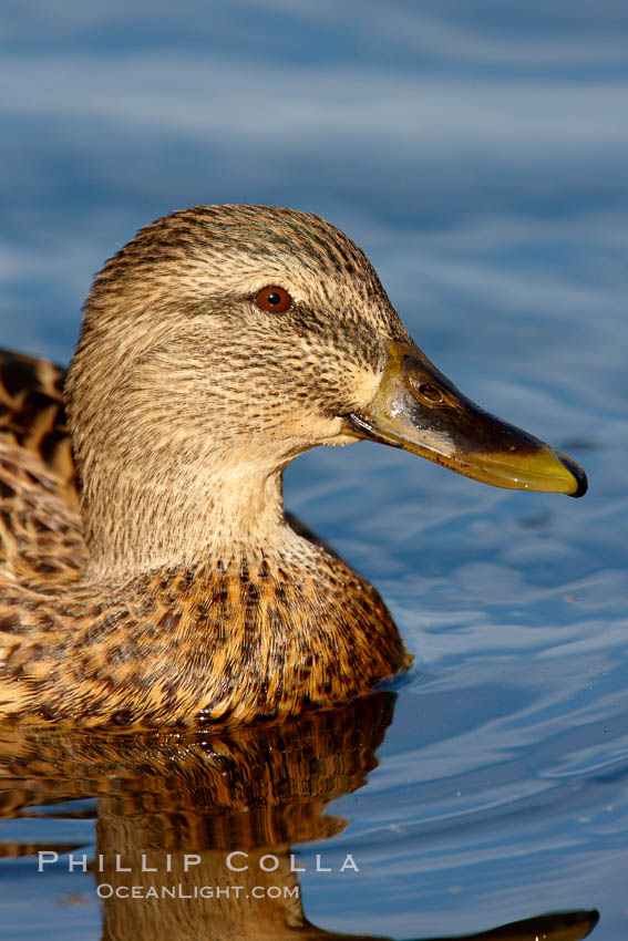 Mallard, female. Santee Lakes, Santee, California, USA, Anas platyrhynchos, natural history stock photograph, photo id 23402