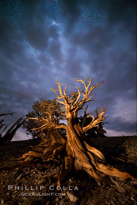 Ancient Bristlecone Pine Tree at night, stars and the Milky Way galaxy visible in the evening sky, near Patriarch Grove. Ancient Bristlecone Pine Forest, White Mountains, Inyo National Forest, California, USA, Pinus longaeva, natural history stock photograph, photo id 28785