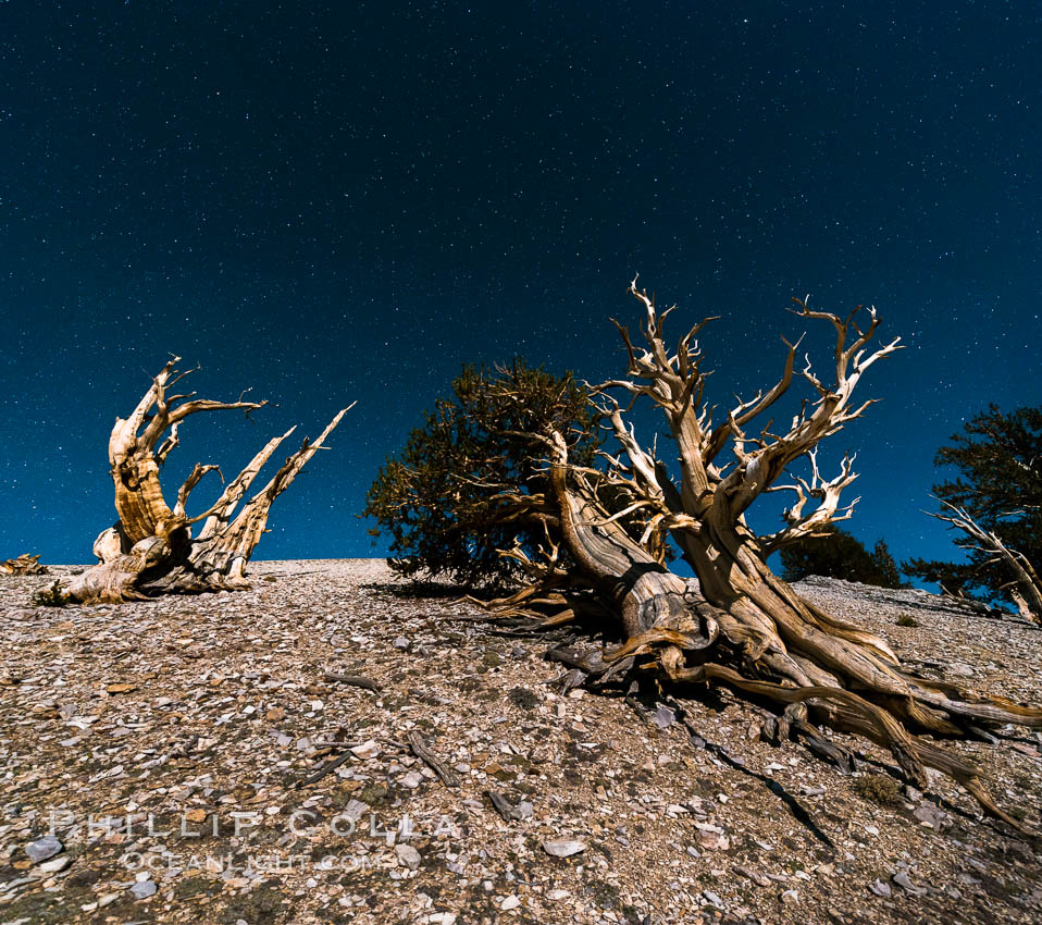 Ancient bristlecone pine trees at night, under a clear night sky full of stars, lit by a full moon, near Patriarch Grove. White Mountains, Inyo National Forest, California, USA, Pinus longaeva, natural history stock photograph, photo id 28536