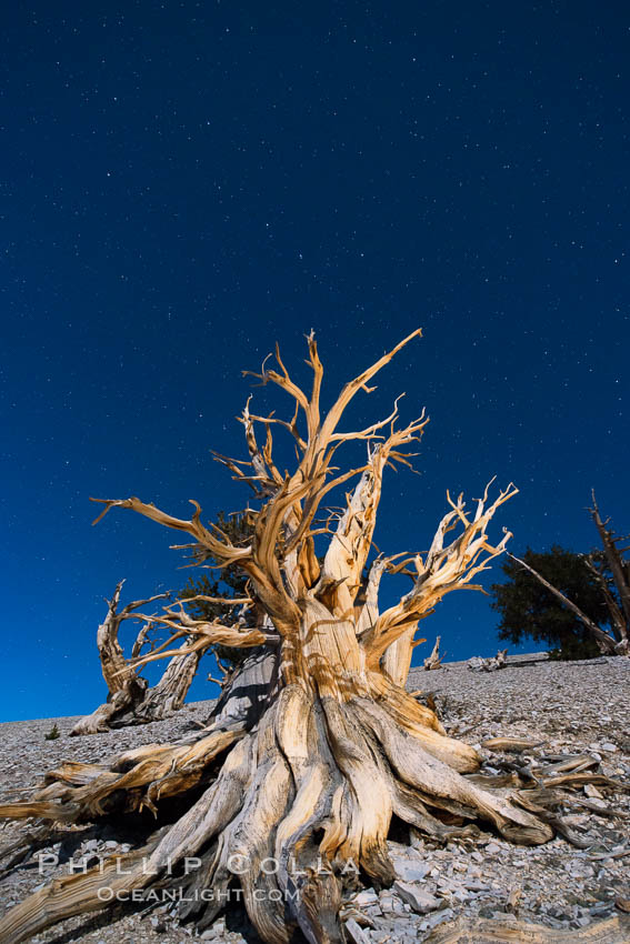Image 28531, Ancient bristlecone pine trees at night, under a clear night sky full of stars, lit by a full moon, near Patriarch Grove. White Mountains, Inyo National Forest, California, USA, Pinus longaeva