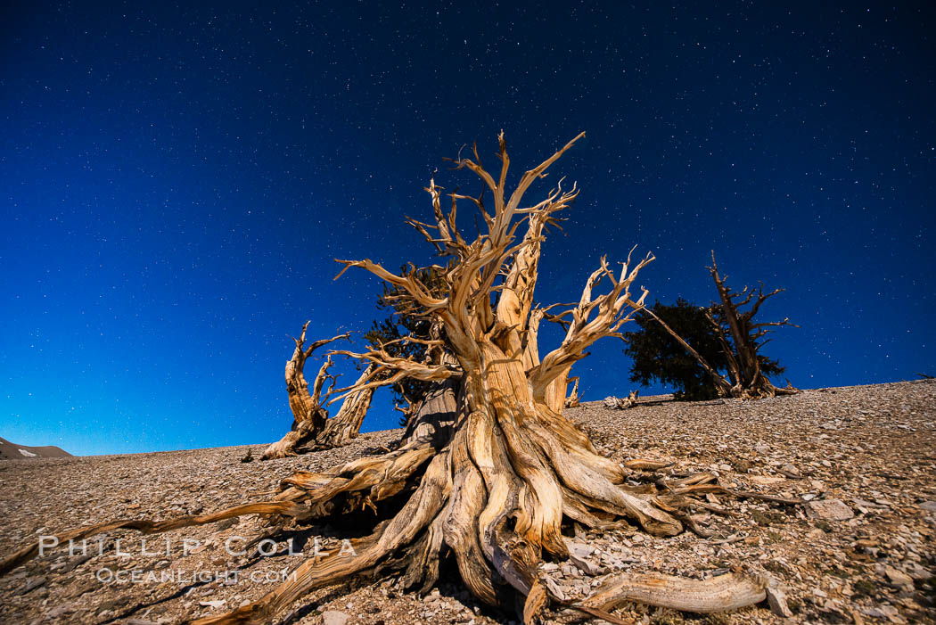 Ancient bristlecone pine trees at night, under a clear night sky full of stars, lit by a full moon, near Patriarch Grove. White Mountains, Inyo National Forest, California, USA, Pinus longaeva, natural history stock photograph, photo id 28529