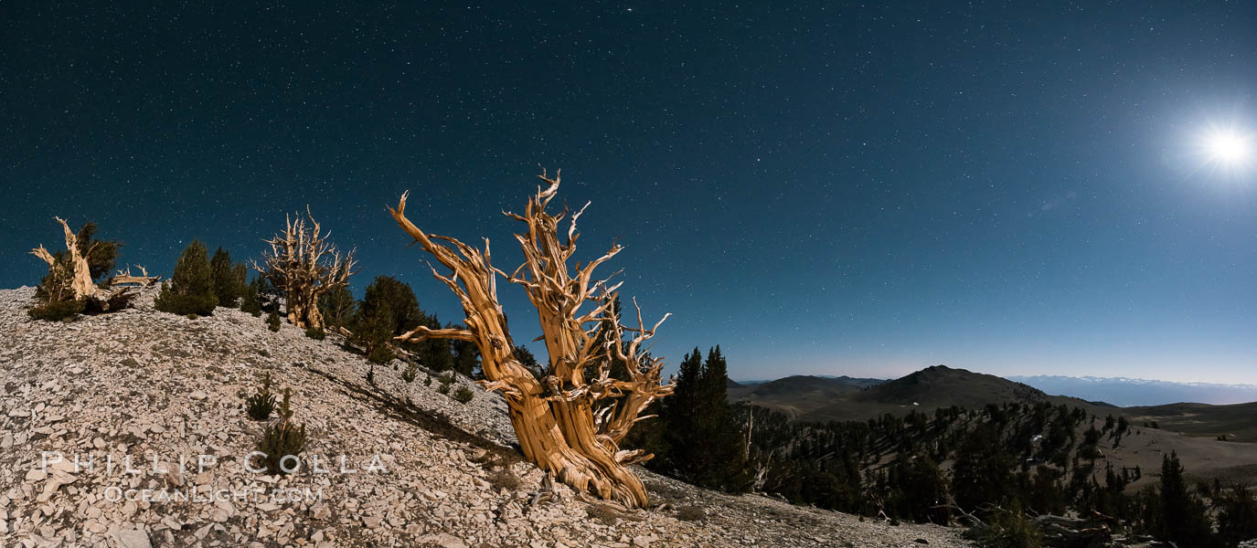 Image 28533, Ancient bristlecone pine trees at night, under a clear night sky full of stars, lit by a full moon, near Patriarch Grove. White Mountains, Inyo National Forest, California, USA, Pinus longaeva, Phillip Colla, all rights reserved worldwide.   Keywords: ancient:ancient bristlecone:ancient bristlecone pine forest:ancient bristlecone pine tree:bristlecone:bristlecone pine:bristlecone pine tree:california:dolomite:environment:forest:gnarled:great basin bristlecone pine:grove:growth:inyo national forest:lifespan:longevity:mountain:national forests:nature:old:old growth:outdoors:outside:patriarch grove:pine:pine tree:pinus longaeva:plant:rock:soil:terrestrial plant:time:tree:twisted:usa:western bristlecone pine:white mountains:white mountains inyo national forest:astrophotography:astrophotography landscape:night:nightscape:moon:moon light:stars:evening:dusk:sunset.