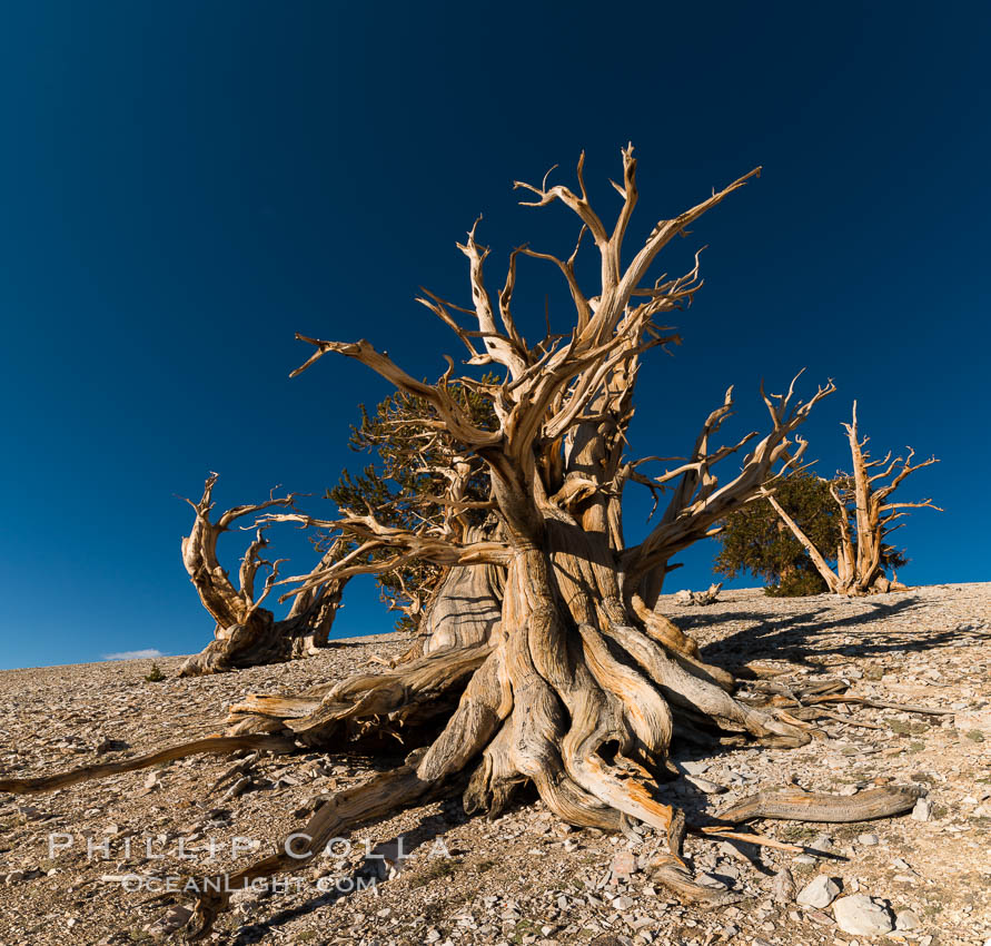 Ancient bristlecone pine trees in Patriarch Grove, display characteristic gnarled, twisted form as it rises above the arid, dolomite-rich slopes of the White Mountains at 11000-foot elevation. Patriarch Grove, Ancient Bristlecone Pine Forest. White Mountains, Inyo National Forest, California, USA, Pinus longaeva, natural history stock photograph, photo id 28523