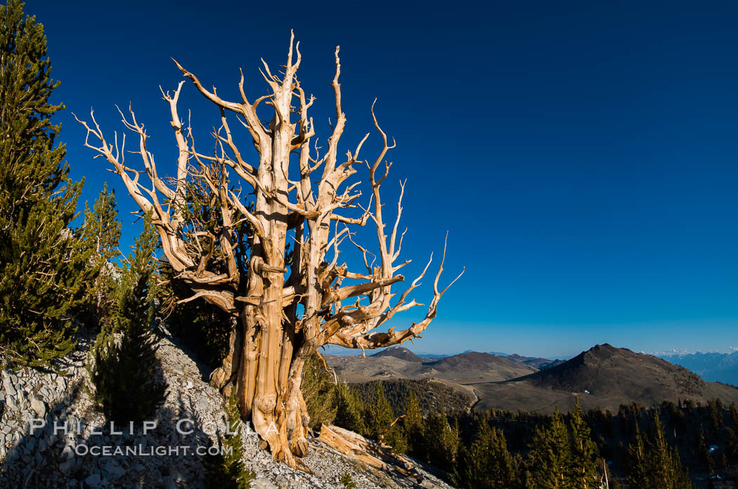 Ancient bristlecone pine trees in Patriarch Grove, display characteristic gnarled, twisted form as it rises above the arid, dolomite-rich slopes of the White Mountains at 11000-foot elevation. Patriarch Grove, Ancient Bristlecone Pine Forest. White Mountains, Inyo National Forest, California, USA, Pinus longaeva, natural history stock photograph, photo id 28527