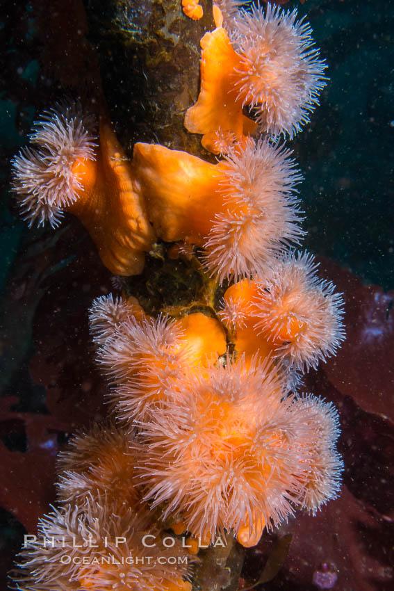 Anemones cling to Bull Kelp Stalk, Browning Pass, British Columbia. British Columbia, Canada, Nereocystis luetkeana, natural history stock photograph, photo id 34419