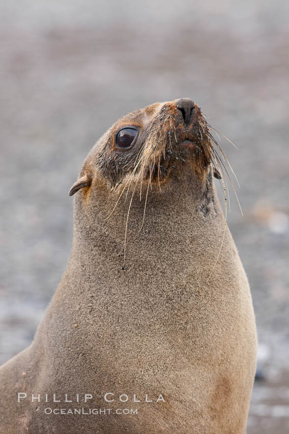 Antarctic fur seal, portrait showing long whiskers and large eyes effective for nocturnal foraging and hunting underwater. Right Whale Bay, South Georgia Island, Arctocephalus gazella, natural history stock photograph, photo id 24355