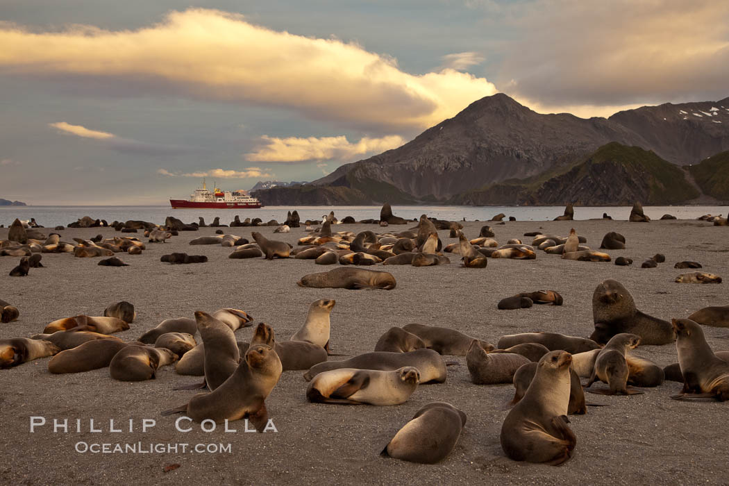 Antarctic fur seal colony, on a sand beach alongside Right Whale Bay, with the mountains of South Georgia Island in the background, sunset. Right Whale Bay, South Georgia Island, Arctocephalus gazella, natural history stock photograph, photo id 24315