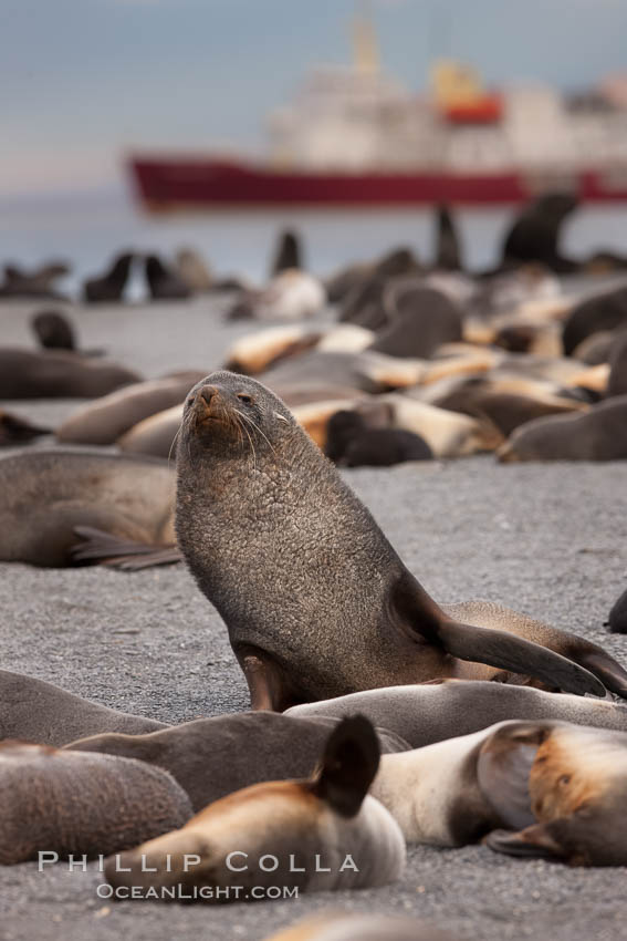 A colony of Antarctic fur seals, with the adult male (bull) in the center of his harem of females and juvenile fur seals. Right Whale Bay, South Georgia Island, Arctocephalus gazella, natural history stock photograph, photo id 24326