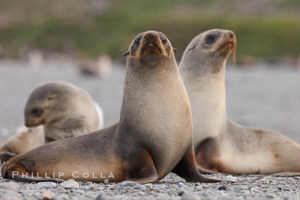 Antarctic fur seal, juveniles or females. Right Whale Bay, South Georgia Island, Arctocephalus gazella, natural history stock photograph, photo id 24319