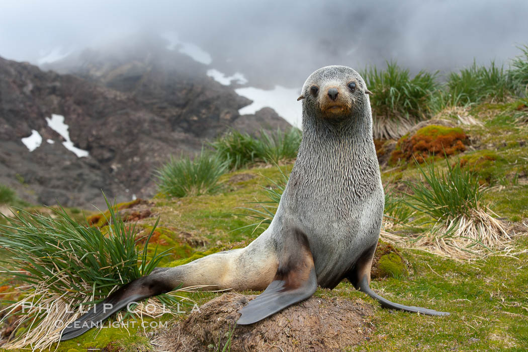 Antarctic fur seal, on grass slopes high above Fortuna Bay, with the cloudy heights of South Georgia Island rising in the background., Arctocephalus gazella, natural history stock photograph, photo id 24595