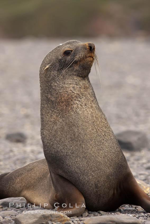 Antarctic fur seal. Right Whale Bay, South Georgia Island, Arctocephalus gazella, natural history stock photograph, photo id 24329