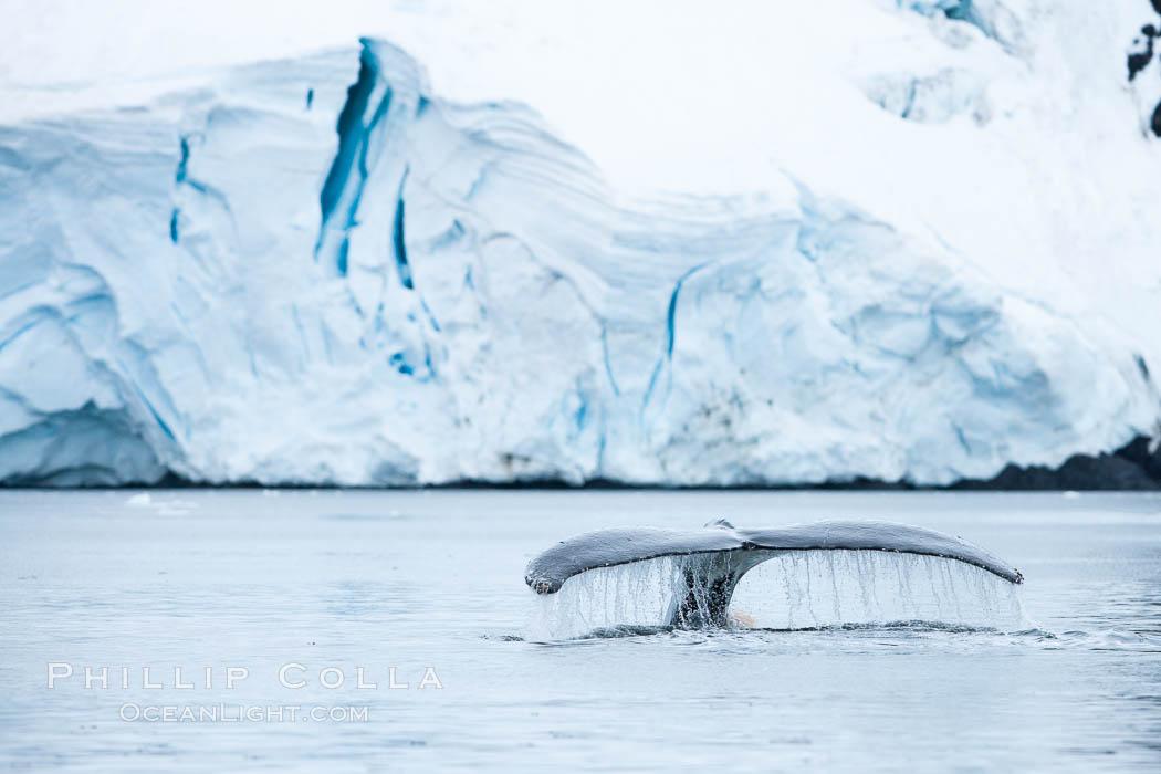 Antarctic humpback whale, raising its fluke (tail) before diving, Neko Harbor, Antarctica. Neko Harbor, Antarctic Peninsula, Antarctica, Megaptera novaeangliae, natural history stock photograph, photo id 25656